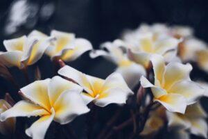 バリ島でみれる花「プルメリア」