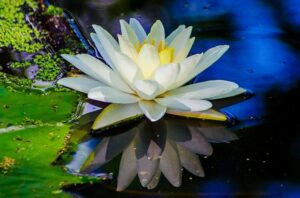 バリ島でみれる花「チューベローズ」